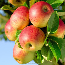 china Export quality Fuji apple