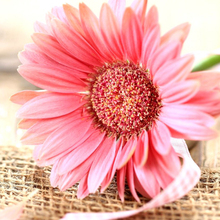 high quanlity dubai fresh flower importers cut flower Gerbera miniature for Valentine's Day
