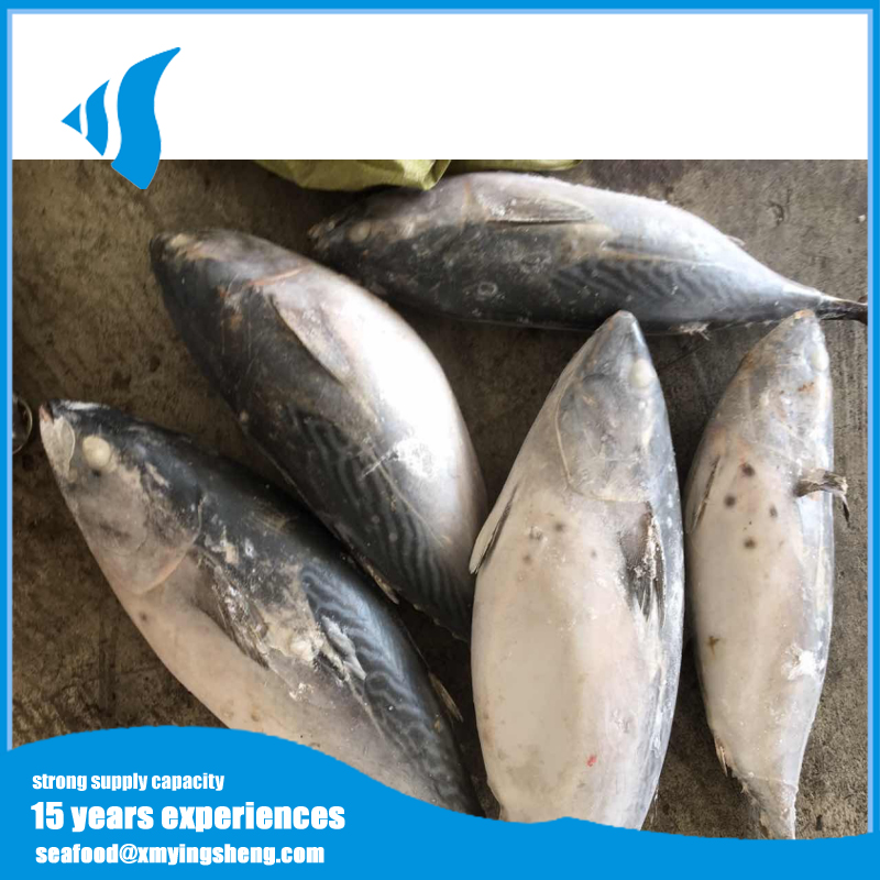 Frozen bonito ( frigate tuna ) for canning