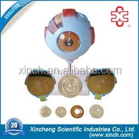 Enlarged Size Plastic Eye Structure Model