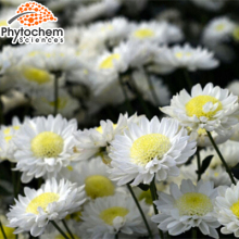 Pure chrysanthemum seeds for sale