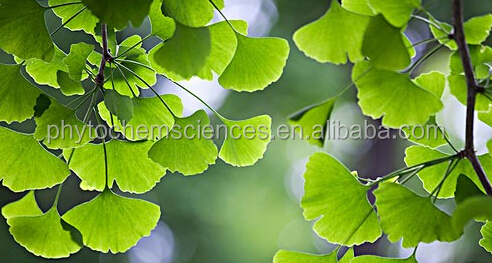 New product Pure Natural ginkgo biloba leaf extract