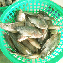 Good Quality Live Tilapia Fish Hot Sales For Tilapia Buyer