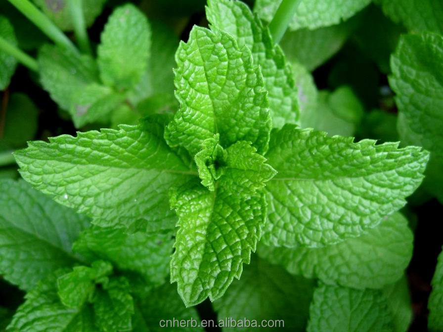 Dried Mint leaf Herba menthae Mentha haplocalyx Peppermint Spearmint Menthene Pennyroyal Mint oil Bo he Bohe
