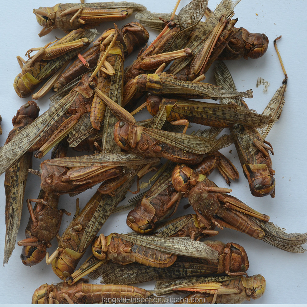 Insect protein of dried locust for feed and pet food