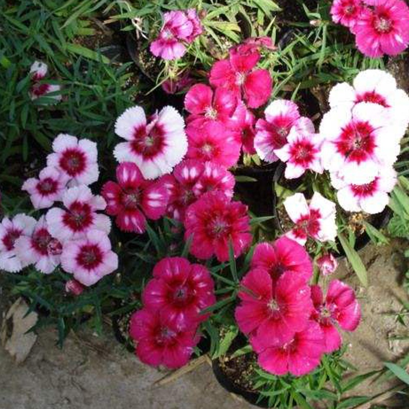 Garden flower Dianthus caryophyllus seeds claveles seeds for sowing