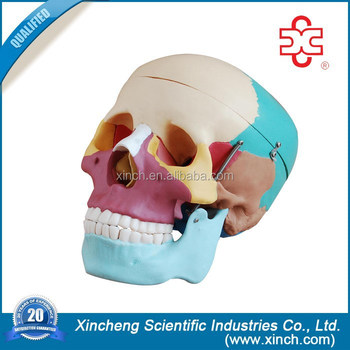 Medical Anatomical Life-Size Skull Modle with Colored Bones