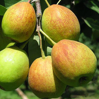 Wholesale Best Price Fresh Crisp Juicy Pear