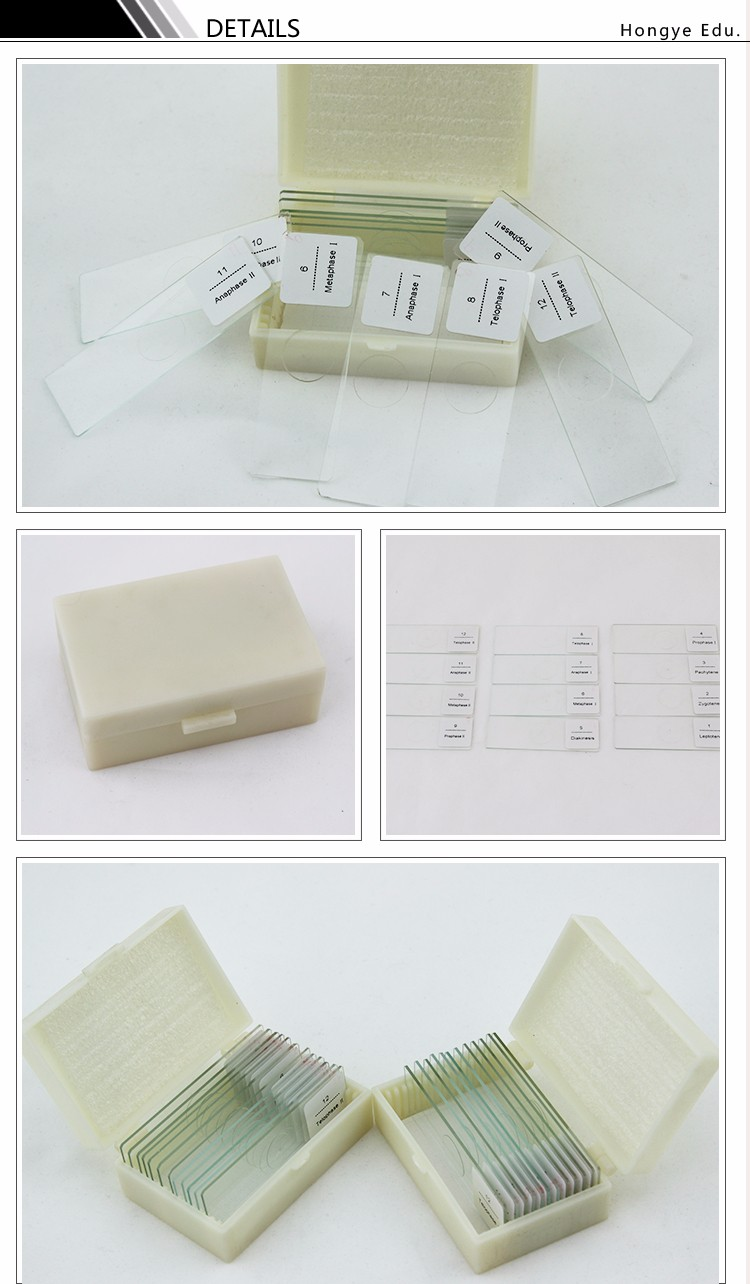 High quality educational instrument microscope slide of onion anther meiosis slides meiosis prepared microscope slides