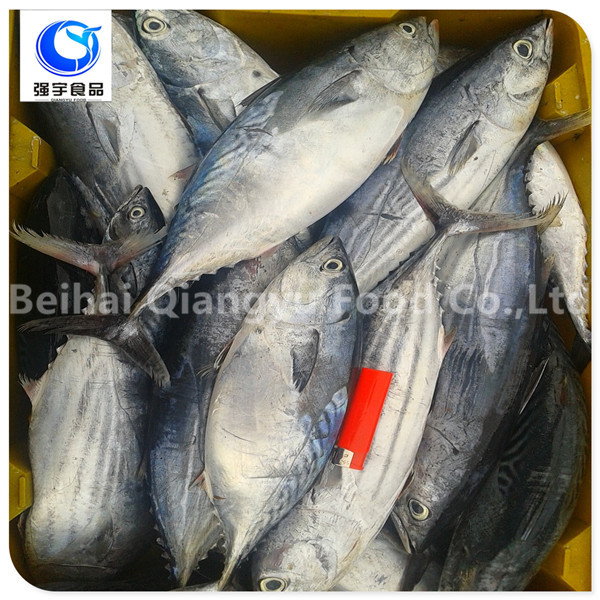 wholesale frozen seafood skipjack tuna fish