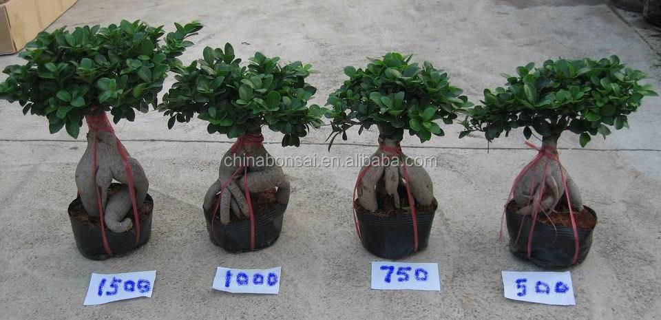 Ficus Microcarpa Ginseng Roots Bonsai