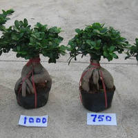 Ficus Microcarpa Ginseng Roots Bonsai