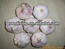 Fresh organic normal white garlic