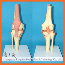 R020909 Human Natural Knee Joint Medical Care Model with Ligament