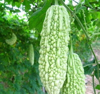 high yield F1 bitter melon vegetable seeds with stronge diseases resistance