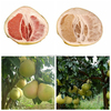 New crop Honey pomelo names all fruits from China