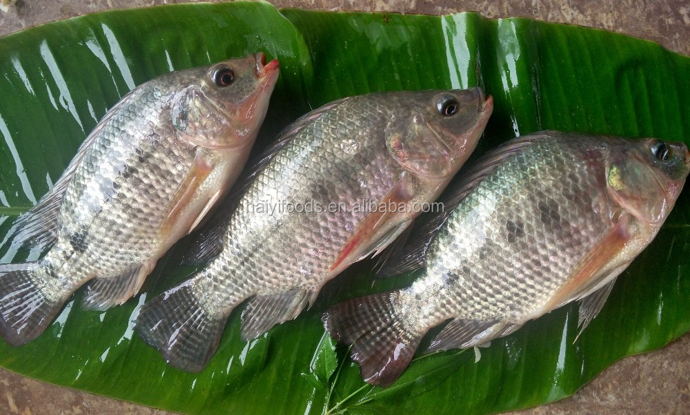 best selling products IQF frozen whole round tilapia fish seed