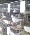 Steel Racing Pigeon Breeding Cages For Sale