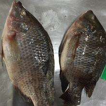 Wholesale frozen gutted scaled whole tilapia fish farming price