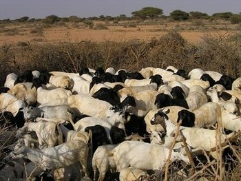 Somali Goats, cows, camels and sheeps