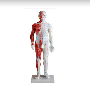Acupuncture & Muscle Model 60CM Male
