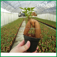 Plants Wholesale Live Mini Trees /Ficus Microcarpa Bonsai Trees