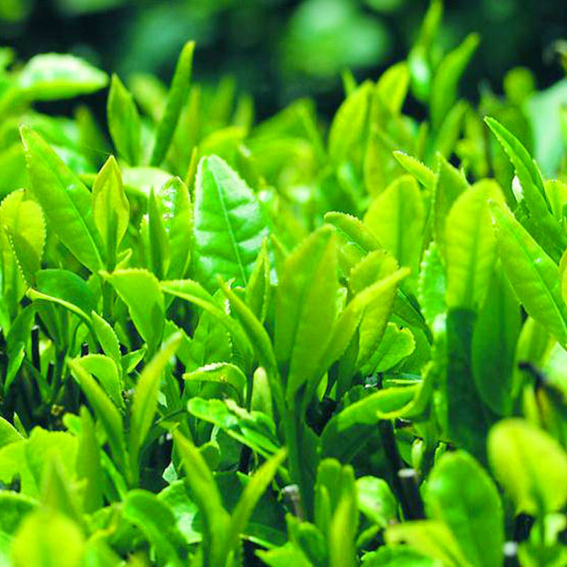 Green Tea L-Theanine Extract / Camellia sinensis O. Ktze. Extract