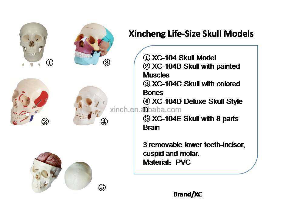 Life-Size Plastic Colored Skull Model