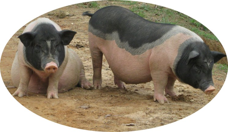 Veterinary premix Poultry feed amino acid chelate Mineral premix