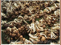 China agrocybe aegerita mushroom extract with high quality and competitive price