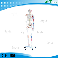 XC-101A 180cm plastic human skeleton model with Muscles and Ligaments