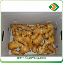 2017 Chinese Fresh Ginger & Air-dried Ginger