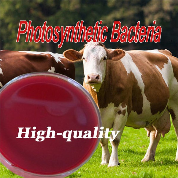 Animal feed additive bacterial protein for animal nutrition photosynthetic bacteria
