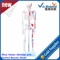 85cm Human Skeleton with Painted Muscles Model