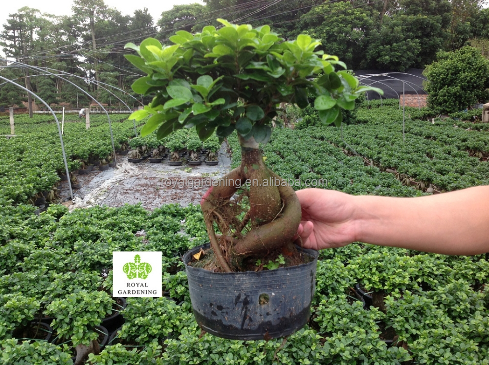 Ficus microcarpa ginseng indoor and outdoor bonsai