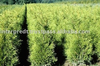 Thuja Brabant Occidentalis Woody Plants