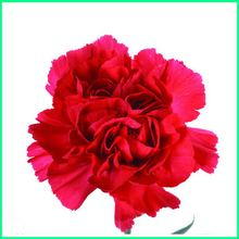 beautiful Smiling Face lisianthus export wholesale