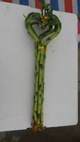 Supply Lucky Bamboo,Dracaena sanderiana wholesale --Heart shape