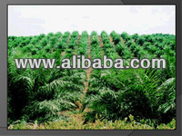 FULLY PLANTED OIL PALM PLANTATION FOR SALE