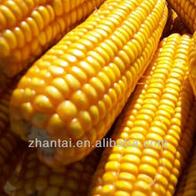 grade 1 yellow corn suppliers looking for oversea purchaser