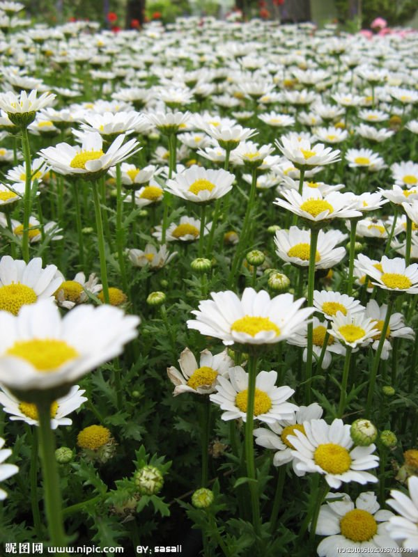Good control of heavy metals 0.2%-2%HPLC Parthenolide Feverfew Extract