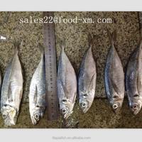China professional producer Best frozen horse mackerel price