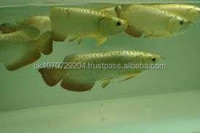 chili red arowana fish for sale best price with tank