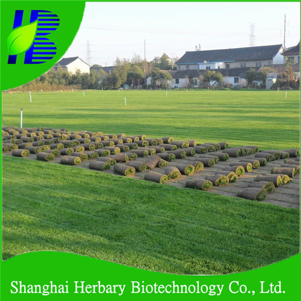 Salt-tolerant grass seeds, seashore paspalum seeds, Paspalum vaginatum seeds