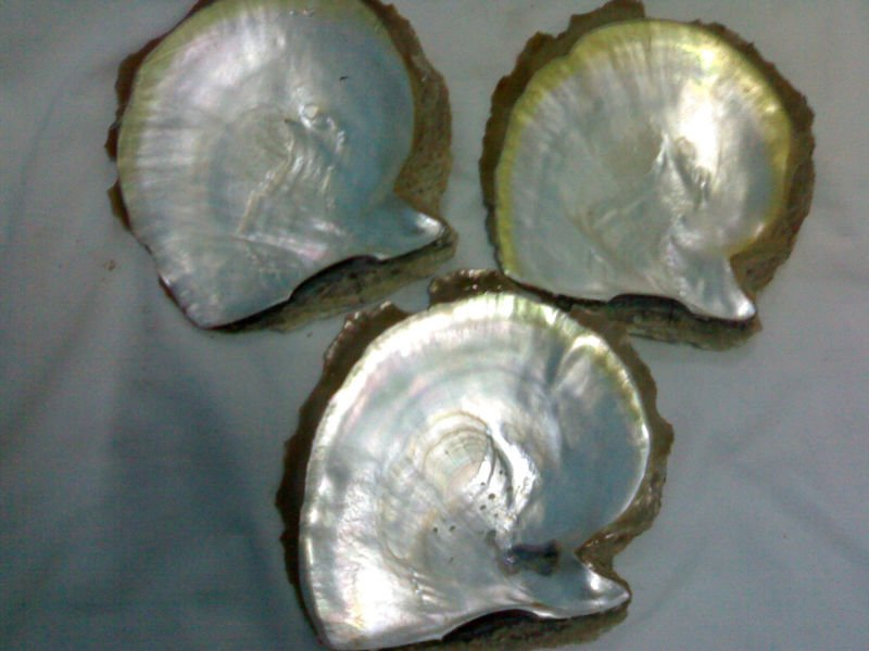 MOP cultured raw shells