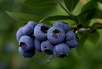 100% European original Bilberry Extract 25% Anthocyanins
