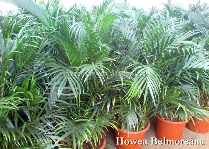 Kentia palm seeds for ornamental buy kentia palm flower for Kentia pianta