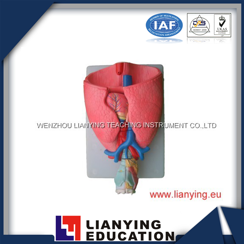 larynx,heart and lung model for education instrument