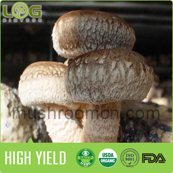 Mushrooms Product Type and Fresh Style shiitake mushroom spawns