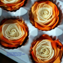 Two-Tone Colors Preserved Roses Dubai Sent Out All The Year For Local Florists